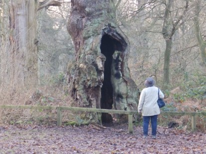 Hollow ancient oak