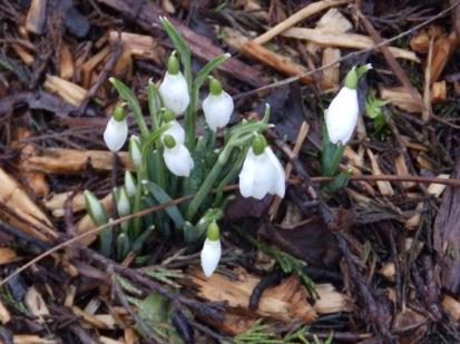 Snowdrops - Arnot Hill Park