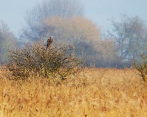 Female Marsh Harrier - Blacktoft Sands
