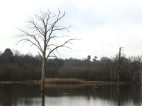 Drowned tree at Clumber Park