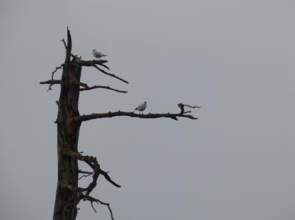 Gulls on a drowned treeOLYMPUS DIGITAL CAMERA