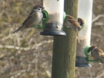Tree Sparrows at Blacktoft Sands