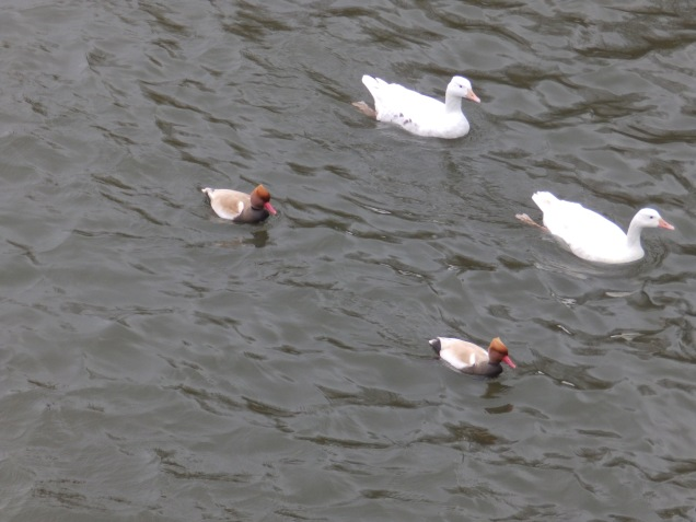 Domestic geese and Red-Crested Pochard