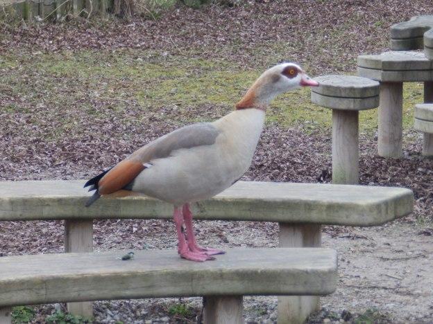 Egyptian Goose - Attenborough
