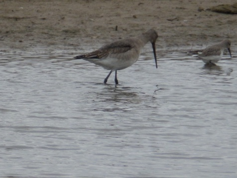 Black-tailed Godwit and Dunlin