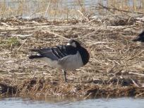 Barnacle Goose hiding face
