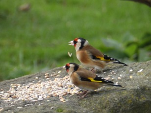 Goldfinches - Dearne Valley