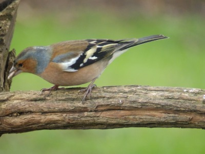 Chaffinch in the Bird Garden