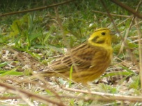 Yellowhammer - Dearne Valley