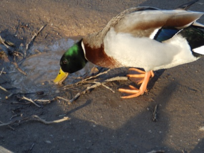 Mallard drinking from puddle