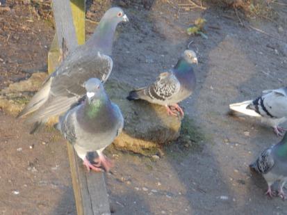 Pigeons!