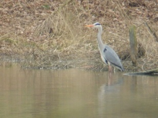 Grey Heron at Rufford Abbey