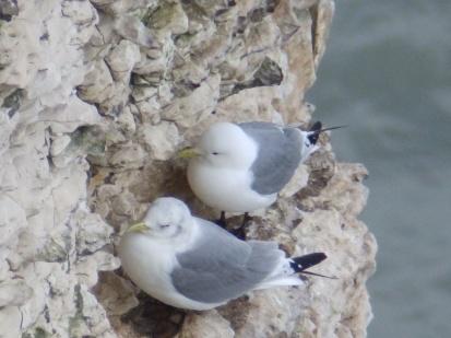 Kittiwakes on Bempton Cliffs