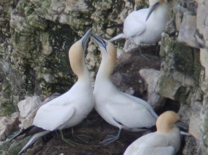 Gannets beak fencing