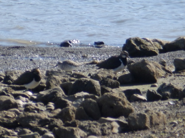 Lapwings and Knot