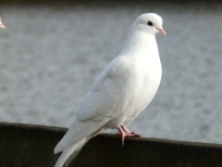 Dove at Rufford Abbey