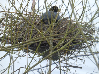 Coot and nest on the Lake at Rufford Abbey