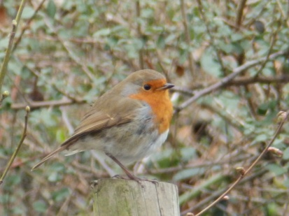 Robin at Arnot Hill Park