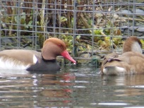 Red Crested Pochard at the duck pond