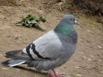 Feral Pigeon - Arnold