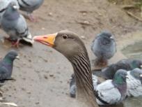 Greylag Goose - Arnot Hill Park