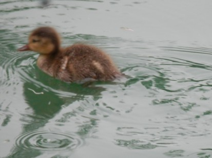 Duckling in Arnold - Red Crested Pochard