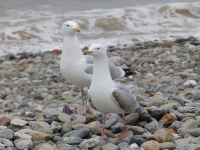 Herring Gulls on the beach at Llandudno