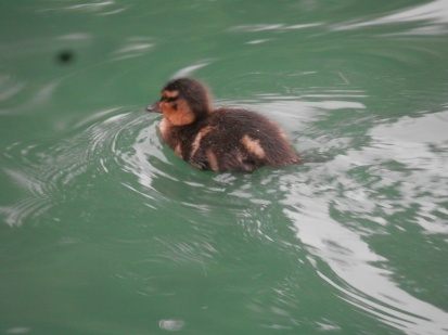 Mallard duckling - Arnot Hill Park