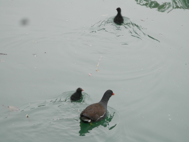 Moorhen wtih chicks