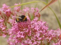Red Valerian with bee