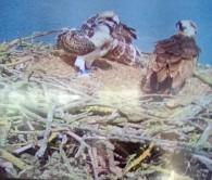 Ospreys at Rutland Water