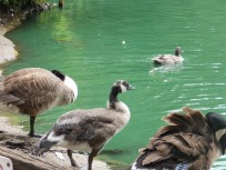 Canada gosling and parents