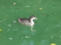 Young Coot