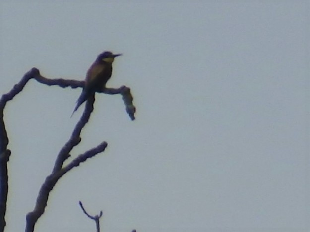 Bee-eater at East Leake quarry