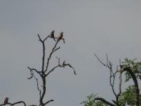 Bee-eaters at East Leake