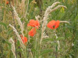 Meadow flowers at East Leake