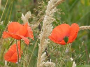 Poppies at East Leake