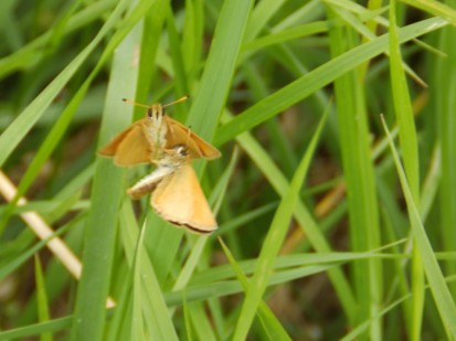 Two Large Skippers at East Leake