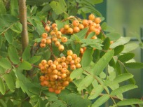 Mountain Ash ripening for winter