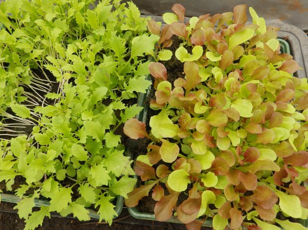 Young salad
