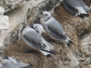Young Kittiwakes - Be,mpton Cliffs