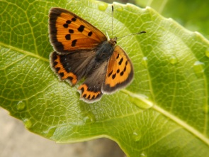 Small Copper on castor oil plant