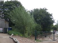 Willow fedge turning into trees