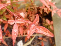 Red plants and raindrops 2