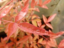 Red plants and raindrops 3