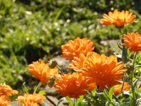 Marigolds at Mencap Garden