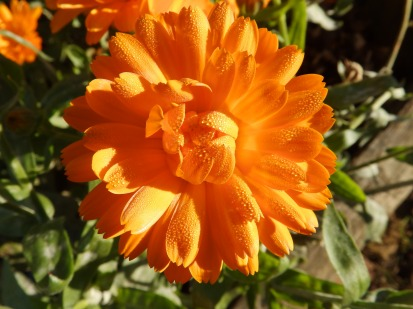 Marigold and dew