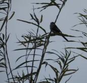 Long-tailed Tit, or Bumbarrel