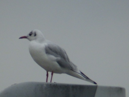 Black-headed Gull in winter plumage