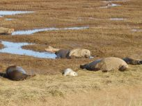 Grey Seals and pups - Donna Nook
